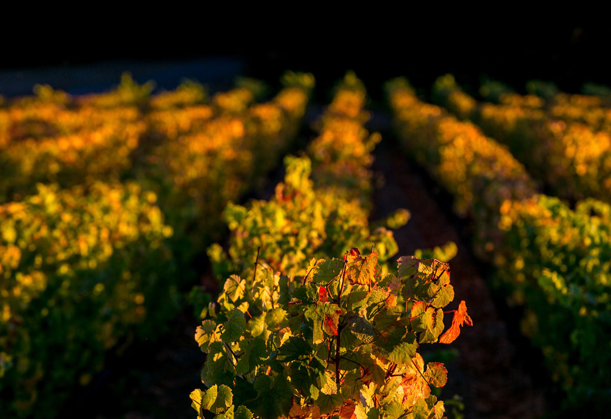 Golden light on the vineyard